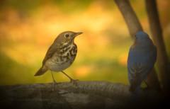 Hermit Thrush (NA birds by Carol) Tags: hermit thrush
