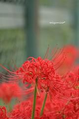 * (miyunico) Tags:    flowers bokeh