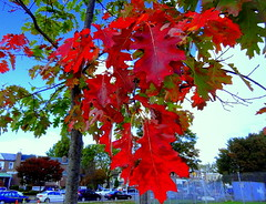Autumn. Young Oak Tree (dimaruss34) Tags: newyork brooklyn dmitriyfomenko image sky clouds foliage autumn fall