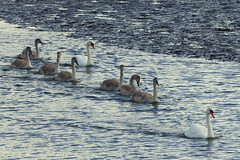 One for the Family Album (Hythe Eye) Tags: eling hampshire muteswans swans cygnets creek rivertest