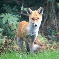 Vulpes vulpes (*Firefox) Tags: redfox vulpesvulpes bristol garden canonef100400mmf4556lisusm canoneos5dmarkii