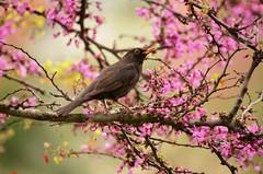 merlo (ecordaphoto) Tags: bird nature blackbird uccello albro sppring primavera natura tree trees d5100 dx 55300 ramo