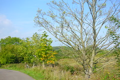 Leafless in September (Dave Roberts3) Tags: gwent newport landscape tree sky blue path wales leaves citrit