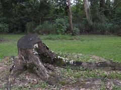 DSCN0297 (apacheizabel) Tags: lago pssaros rvores cu pinhas tronco espelho dgua queroquero rolinhas banco no bosque famlia de galinhas passeio parque centro aeroespacial da aeronutica cta so jos dos campos sp
