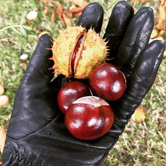 Autumn haul #conkers #autumn (Winniepix) Tags: square iphoneography autumn conker chestnut glove spike green nature plant tree fruit red