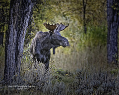 Young Bull Moose During Fall Rut....Maybe Next Year Buddy. (Hawg Wild Photography) Tags: moose wildlife nature animal animals jacksonholewyoming grand teton tetons national park terrygreen nikon nikon200400vr d810 hawg wild photography