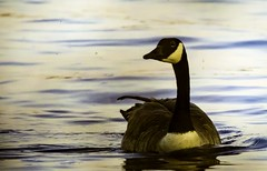 Bernache du Canada (Canada Goose) (yveshebert) Tags: bernaches goose oiseaux oiseauxduqubec birds gatineau qc qubec quebec oiseaunoirblanc outaouais ottawariver