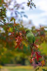 PARAKEET (Mark John Nepomuceno) Tags: parakeet wildlife london park uk bird feather autumn