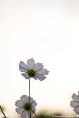 (SYU*2) Tags: cosmos color nikon flower cute beautiful colors love flowers d800 pastel nature nikoor autumn pink macro dreamy bokeh 90mm japan light