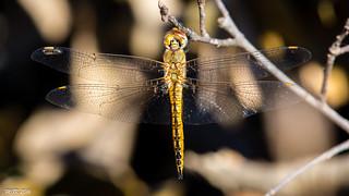 Wandering Glider (female) -Explored- DSC_8781