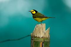 Hooded Warbler (Tang Heng) Tags: