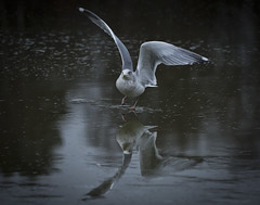 "Slippery (Vidar ""the Viking"" Ringstad, Norway) Tags: winter cold ice water seagull reflection mirror slippery wildnorway wings eyes legs bird lake pov bokeh wildlife zoom canoneos5dmkiii oslo bøler østensjøvannet norwegen norge norway nature naturepic natureshot"