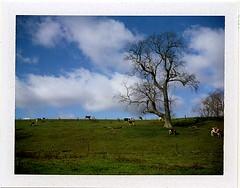 (babireley) Tags: pawilds pottercounty pa pottercountypa fujifilmfp100c polaroid250 cows