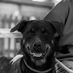 Reesie06Nov1600009-Edit.jpg (fredstrobel) Tags: dogs pawsatanta phototype atlanta blackandwhite usa animals ga pets places pawsdogs decatur georgia unitedstates us