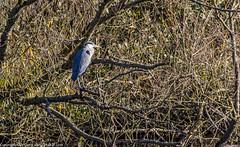 9Q6A8706 (2) (Alinbidford) Tags: alinbidford alancurtis brandonmarsh greyheron heron littlegrebe pochard blackheadedgull muteswan cormorant
