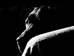 Jess (rac819) Tags: blacklabrador labs labradorretriever labrador dogportraits dog dogs