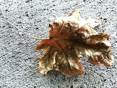 1 at the Fragile Stage (Mertonian) Tags: leaf iphone7plus iphone ifone texture cement concrete mertonian crispy fragile robertcowlishaw autumn fall patterns wonder awe ineffable transitions decay