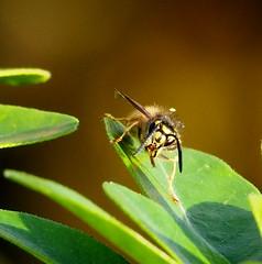 Vespula vulgaris_High Farm Meadow CWS_Andrew Green_11Nov2015 (1) (Andrew Green @nature_spotter) Tags: vespula vulgaris socialwasp wasp