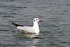 Brown Headed Gull (VagrantWings @ Shalini Singh) Tags: bird brownheadedgull india pune shalinisingh vagrantwings