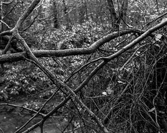 Tangled branches (Stanley Burn Woods) (Jonathan Carr) Tags: tree branches abstract abstraction landscape rural northeast toyo45a largeformat 4x5 5x4 black white bw monochrome tangled