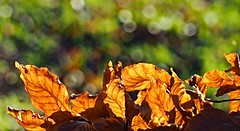 November leaves... (Simple_Sight) Tags: autumn fall leaf leaves outdoors forest closeup trees golden bokeh nature natur bltter herbst green