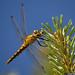 20150701_02 Yellow dragonfly | Ullahau, Fårö, Gotland, Sweden