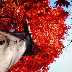 Fall color, red maple (usotuki) Tags: 横浜 葉 紅葉 もみじ 銀杏 イチョウ nature maple ginkgo autumnleaves autumncolors ricoh grⅱ