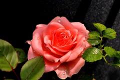 Rose 🌹 (vrochas) Tags: rose flower green pink nature spring garden photography brasil nikon nikonphotography vaniarocha