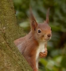 Rode eekhoorn - Red squirrel - Sciurus vulgaris (Foto by Yves) Tags: rodent garden 75300mm l 28 november 2016