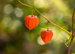 Siamo alla frutta ((Raffaella@)) Tags: phisalys alchechengi arancione orange colore color colours autunno autumn november novembre bosco wood plant fruit lanternacinese lanterna bokeh light luce natura nature