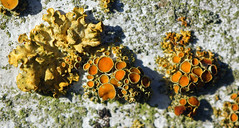 Overlooked Beauty! (RiverCrouchWalker) Tags: lichen gold apothecia foliose colonies november 2016 woodhamfen southwoodhamferrers essex essexwildlifetrust silverbirch tree thallus