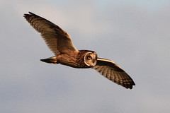 Flying off into the Sunset... (Paridae) Tags: shortearedowl owl owlsofbritishcolumbia owlsofnorthamerica owlinflight owlhunting birdsofbritishcolumbia birdsofprey birdsofboundarybay thingswithwings featheredfriends asioflammeus familystrigidae afewofmyfavouritethings