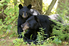 Relaxing with mom (Seventh day photography.ca) Tags: blackbear bear animal wildanimal wildlife predator mammal ontario canada summer sow female cub young