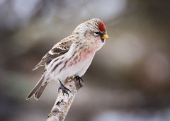 Little Redpoll (Wild Birdy) Tags: mn minnesota bird avian redpoll acanthis flammea common usa aba northern north winter finch snow bokeh stick red adorable cute kabekona