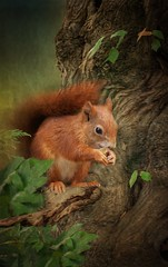 Red Squirrel (brian_stoddart) Tags: red squirrel animals manipulated tree