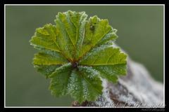 An ice cold morning (Michael P Photograpy - wildlifemc) Tags: macro extensiontube diy stacking