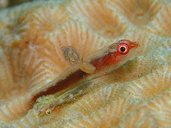 """When I grow up, I DON'T want to be just like you..."" (MerMate) Tags: dpg wetpixel fins coral parasites indonesia olympus macro ambon goby diving scuba underwater explore"