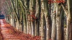 Sad trees (RainerSchuetz) Tags: autumn fall trees foliage avenue