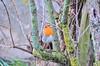 Rouge-gorge DSC_8721.jpg (mrplmarie) Tags: france hauteloire oiseaux rougegorge lieux paulhaguet auvergne