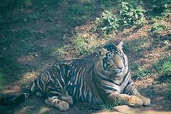 Black Royal Bengal Tiger [Pseudo melanistic Tiger] (srimoyphotoz) Tags: animal wildlifephotography nature naturalsanctuary royalbengaltiger blacktiger pantheratigristigris outdoor jungle wildanimal bigcats