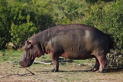Hippo Out Of Water (Susan Roehl) Tags: southafrica2015 londolozigamereserve hippo outofwater outdoors animal mammal sueroehl photographictour panasonic lumixdmcgh4 100300mmlens handheld herbivore ngc