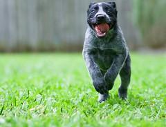 Say hello to my little friend. (Simonsnapz) Tags: australian stumpy tailed cattle dog