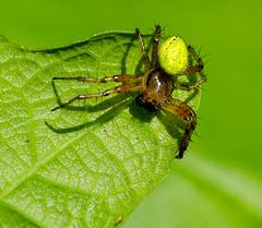 Araniella cucurbitina (davep90) Tags: macro forest moss warrington nikon sigma bugs f28 mersey risley lnr 150mm d7000 davep90