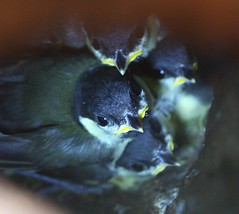 It's getting cramped in here! (Graham  Sodhachin) Tags: bird nest chicks greattit margatecemetery