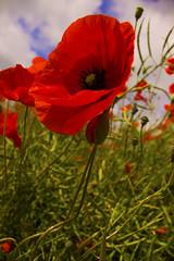 Beautiful Poppy (kellyhackney1) Tags: red colour beautiful poppy glowing
