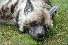 slapen (7D011640) (Hetwie) Tags: animals zoo dieren safaripark beeksebergen dierentuin wildehond