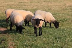 Curious Sheep (Non Paratus) Tags: uk wales sheep cymru pembrokeshire cambria dyfed suffolksheep marloespeninsula