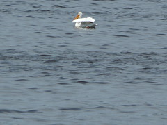 American White Pelican (pronghorn.touring) Tags: white minnesota pelican american mn americanwhitepelican pelecanus erythrohynchos pelecanuserythrohynchos pronghorntouring