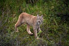 Lynx on the Prowl (Luv Duck - Thanks for 15M Views!) Tags: bigcat lynx denalinationalpark alaskanwildlife