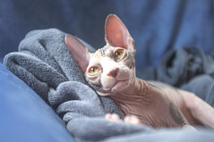 Princesse Junon (_MarionK) Tags: baby color yellow cat eyes kitten chat fuji sphynx hairless poil bb chaton x100 fujix100